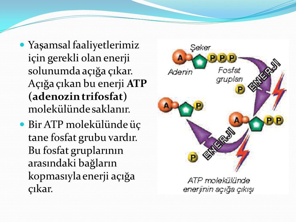 Yaşamsal faaliyetlerimiz için gerekli olan enerji solunumda açığa çıkar. Açığa çıkan bu enerji ATP (adenozin trifosfat) molekülünde saklanır. Bir ATP