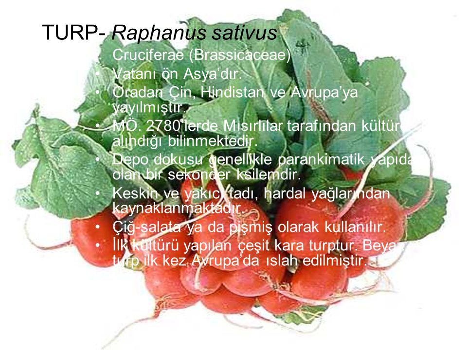 TURP- Raphanus sativus Cruciferae (Brassicaceae) Vatanı ön Asya'dır. Oradan Çin, Hindistan ve Avrupa'ya yayılmıştır. MÖ. 2780'lerde Mısırlılar tarafın