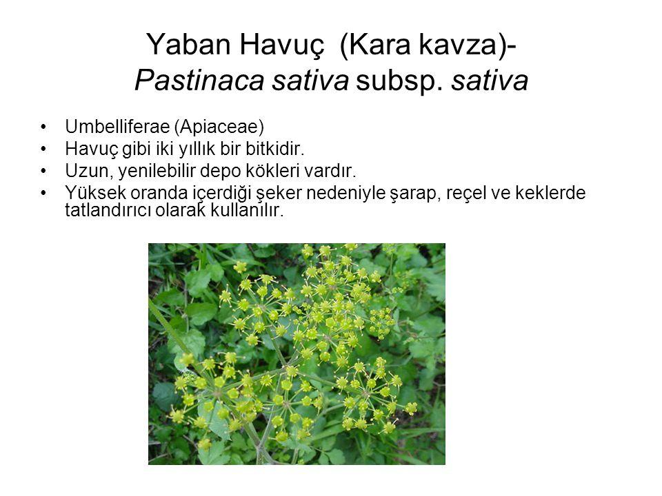 Yaban Havuç (Kara kavza)- Pastinaca sativa subsp. sativa Umbelliferae (Apiaceae) Havuç gibi iki yıllık bir bitkidir. Uzun, yenilebilir depo kökleri va