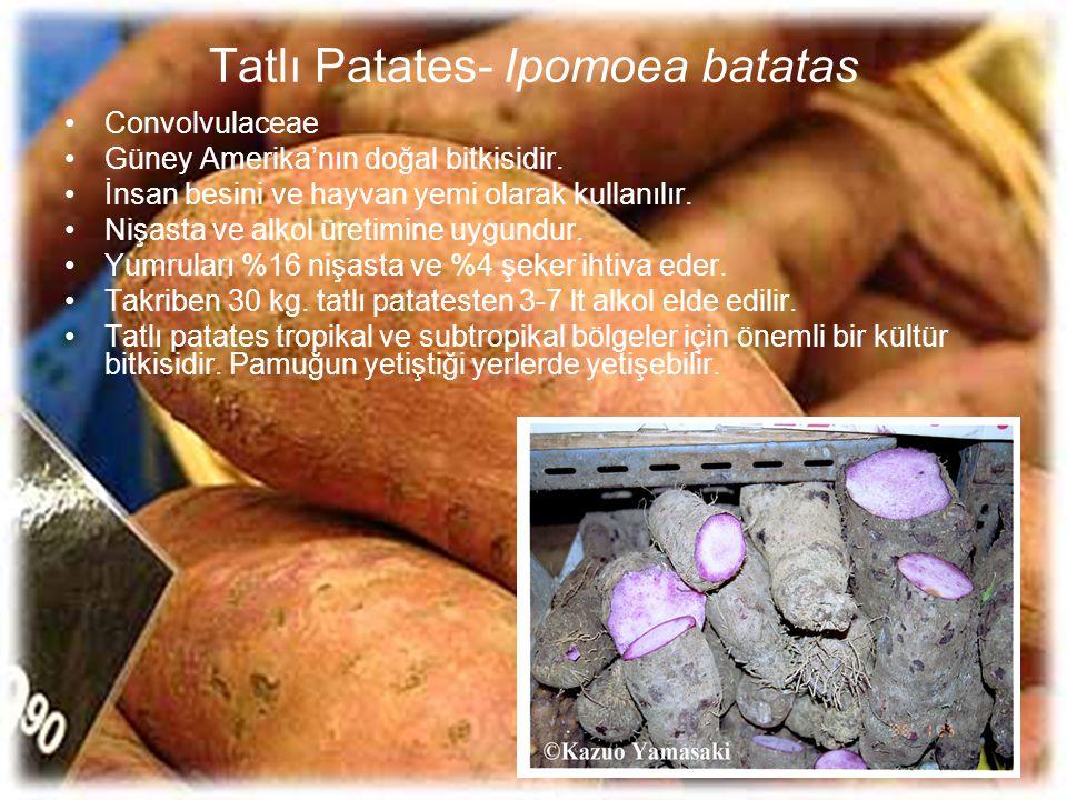 Tatlı Patates- Ipomoea batatas Convolvulaceae Güney Amerika'nın doğal bitkisidir. İnsan besini ve hayvan yemi olarak kullanılır. Nişasta ve alkol üret