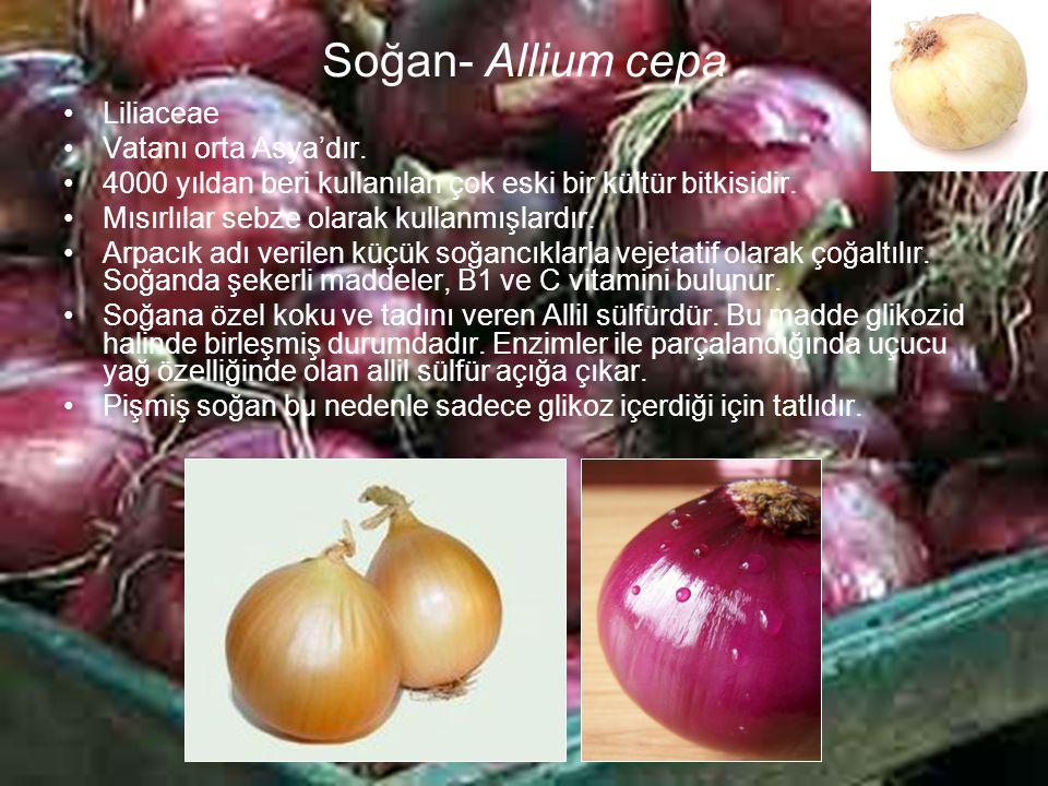 Soğan- Allium cepa Liliaceae Vatanı orta Asya'dır. 4000 yıldan beri kullanılan çok eski bir kültür bitkisidir. Mısırlılar sebze olarak kullanmışlardır