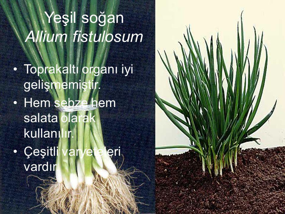Yeşil soğan Allium fistulosum Toprakaltı organı iyi gelişmemiştir. Hem sebze hem salata olarak kullanılır. Çeşitli varyeteleri vardır.