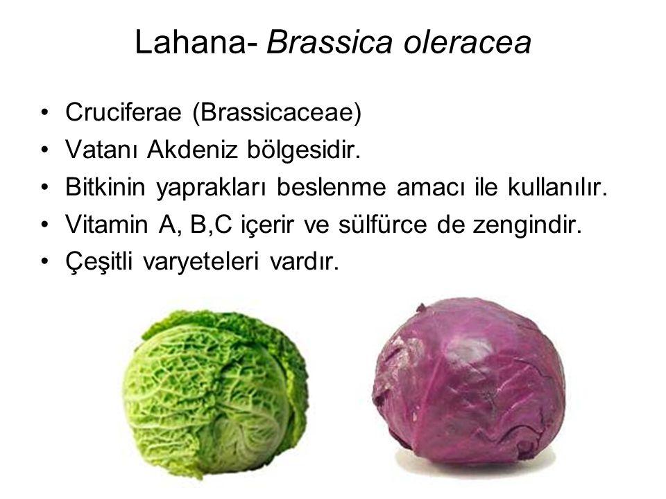 Lahana- Brassica oleracea Cruciferae (Brassicaceae) Vatanı Akdeniz bölgesidir. Bitkinin yaprakları beslenme amacı ile kullanılır. Vitamin A, B,C içeri