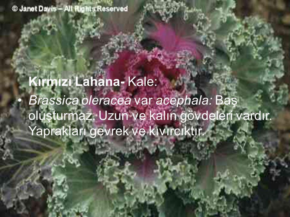 Kırmızı Lahana- Kale: Brassica oleracea var acephala: Baş oluşturmaz. Uzun ve kalın gövdeleri vardır. Yaprakları gevrek ve kıvırcıktır.