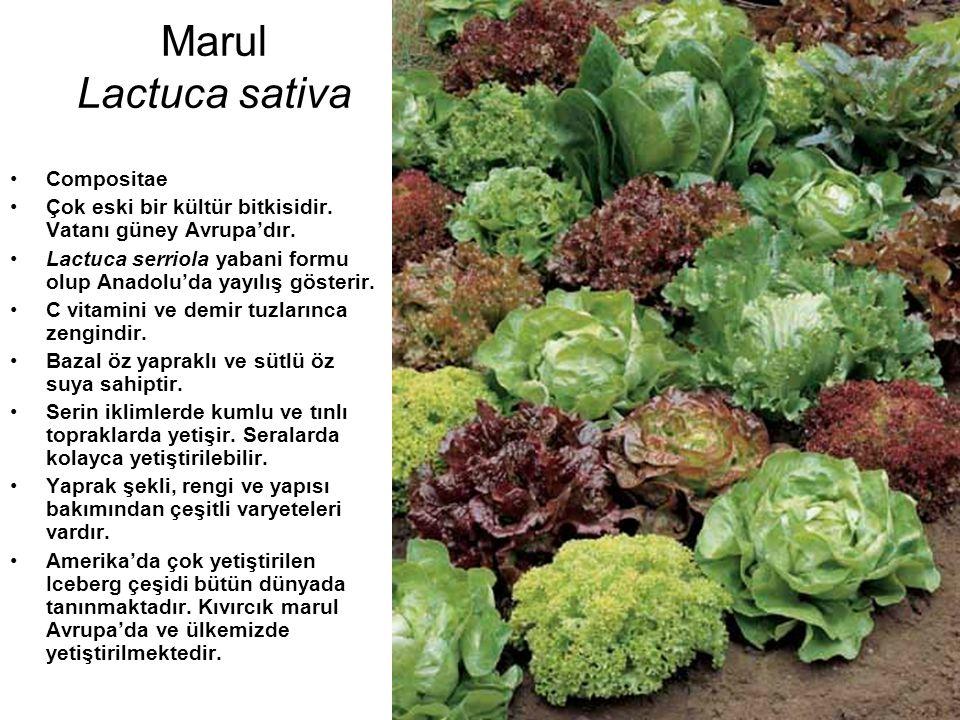 Marul Lactuca sativa Compositae Çok eski bir kültür bitkisidir. Vatanı güney Avrupa'dır. Lactuca serriola yabani formu olup Anadolu'da yayılış gösteri