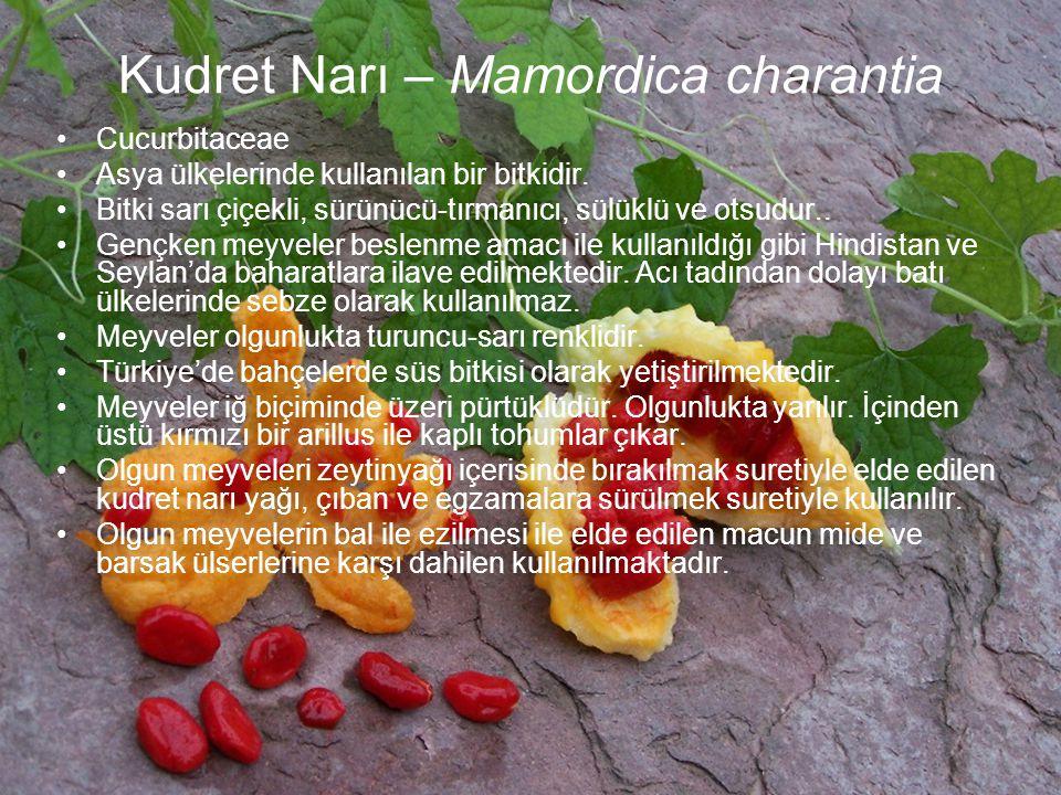Kudret Narı – Mamordica charantia Cucurbitaceae Asya ülkelerinde kullanılan bir bitkidir. Bitki sarı çiçekli, sürünücü-tırmanıcı, sülüklü ve otsudur..