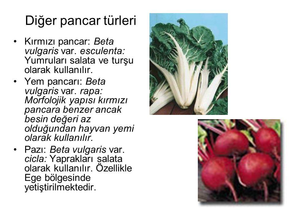 Diğer pancar türleri Kırmızı pancar: Beta vulgaris var. esculenta: Yumruları salata ve turşu olarak kullanılır. Yem pancarı: Beta vulgaris var. rapa: