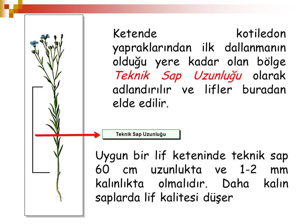 Teknik Sap Uzunluğu Ketende kotiledon yapraklarından ilk dallanmanın olduğu yere kadar olan bölge Teknik Sap Uzunluğu olarak adlandırılır ve lifler bu