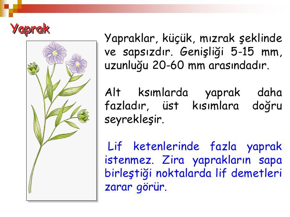 YaprakYaprak Yapraklar, küçük, mızrak şeklinde ve sapsızdır. Genişliği 5-15 mm, uzunluğu 20-60 mm arasındadır. Alt ksımlarda yaprak daha fazladır, üst