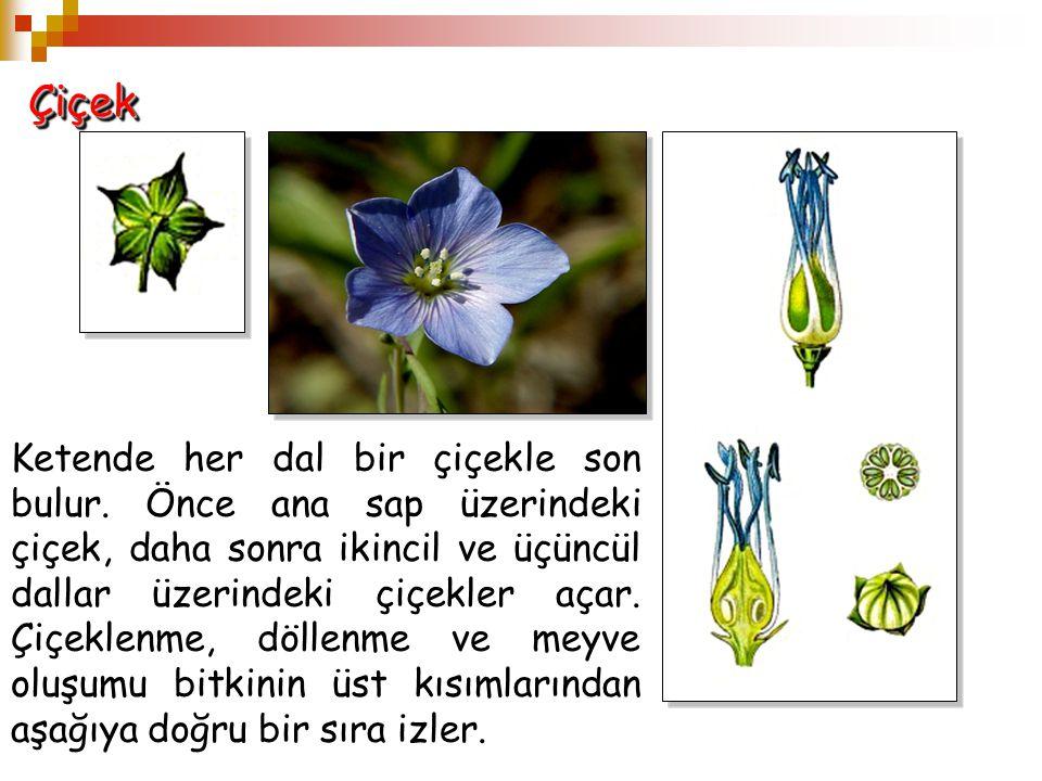 ÇiçekÇiçek Ketende her dal bir çiçekle son bulur. Önce ana sap üzerindeki çiçek, daha sonra ikincil ve üçüncül dallar üzerindeki çiçekler açar. Çiçekl