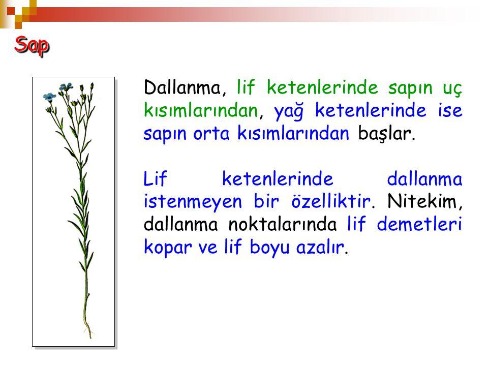 SapSap Dallanma, lif ketenlerinde sapın uç kısımlarından, yağ ketenlerinde ise sapın orta kısımlarından başlar. Lif ketenlerinde dallanma istenmeyen b