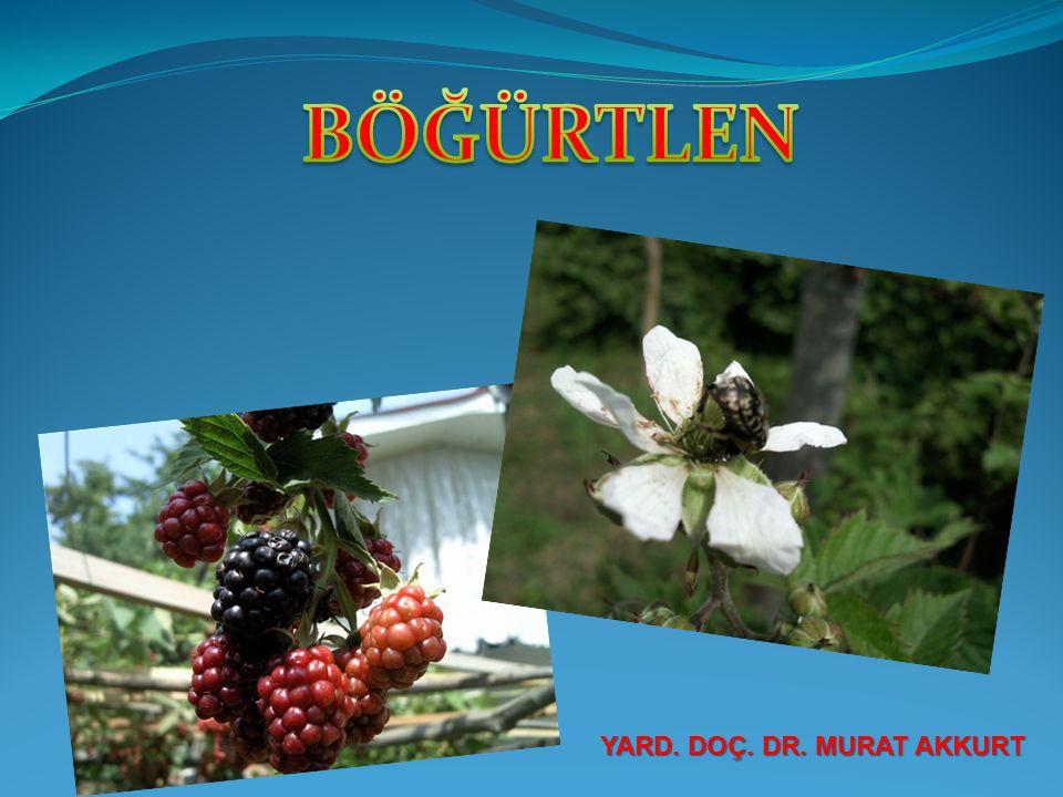BAHÇE TESİSİ Böğürtlen bahçeleri geç sonbahar (Kasım - Aralık) yada kış aylarında tesis edilir.