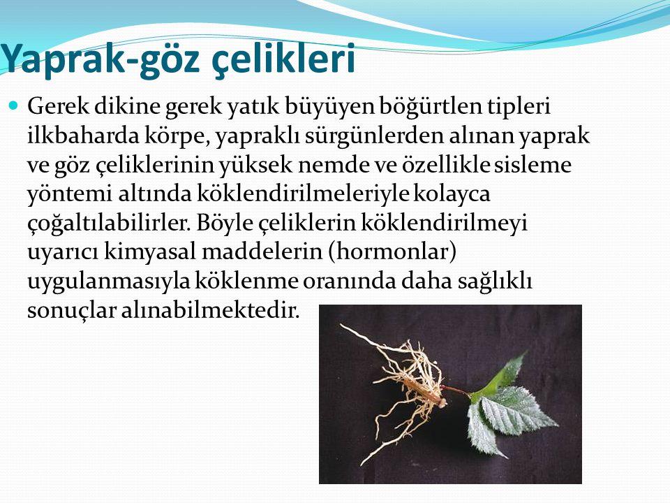 Yaprak-göz çelikleri Gerek dikine gerek yatık büyüyen böğürtlen tipleri ilkbaharda körpe, yapraklı sürgünlerden alınan yaprak ve göz çeliklerinin yüks