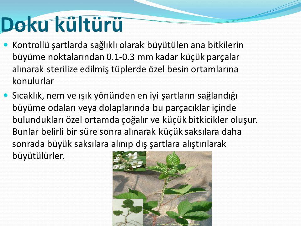 Doku kültürü Kontrollü şartlarda sağlıklı olarak büyütülen ana bitkilerin büyüme noktalarından 0.1-0.3 mm kadar küçük parçalar alınarak sterilize edil