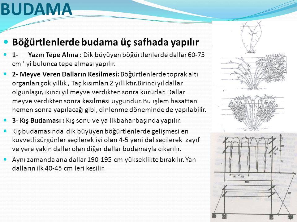 BUDAMA Böğürtlenlerde budama üç safhada yapılır 1- Yazın Tepe Alma : Dik büyüyen böğürtlenlerde dallar 60-75 cm ' yi bulunca tepe alması yapılır. 2- M