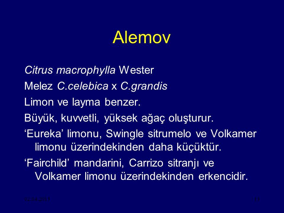 02.04.201513 Alemov Citrus macrophylla Wester Melez C.celebica x C.grandis Limon ve layma benzer.