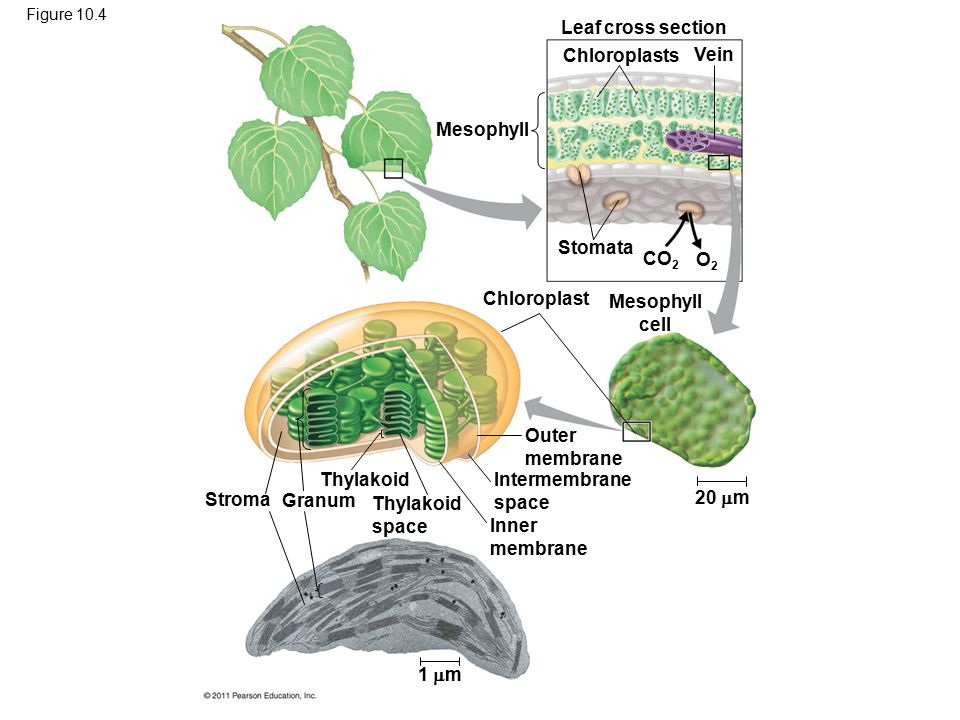 Figure 10.4 Mesophyll Leaf cross section Chloroplasts Vein Stomata Chloroplast Mesophyll cell CO 2 O2O2 20  m Outer membrane Intermembrane space Inne