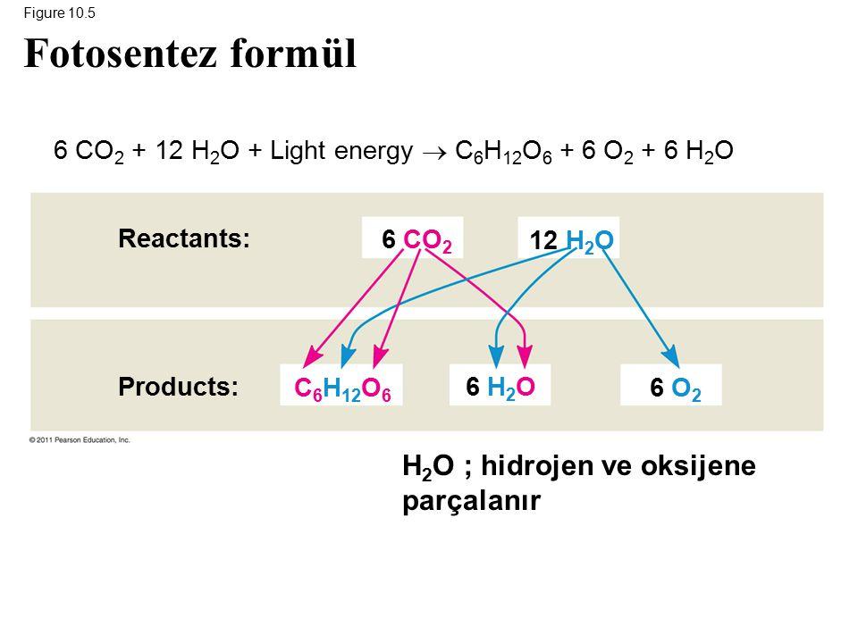 Figure 10.5 Reactants: Products: 6 CO 2 6 H 2 O 6 O 2 12 H 2 O C 6 H 12 O 6 Fotosentez formül 6 CO 2 + 12 H 2 O + Light energy  C 6 H 12 O 6 + 6 O 2 + 6 H 2 O H 2 O ; hidrojen ve oksijene parçalanır
