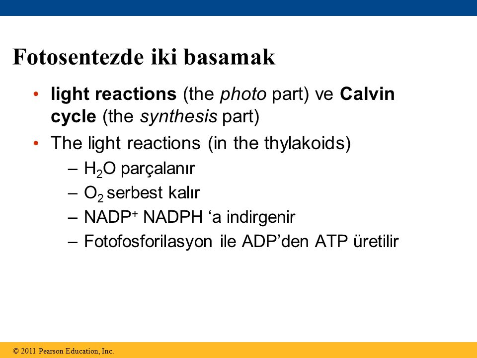 Fotosentezde iki basamak light reactions (the photo part) ve Calvin cycle (the synthesis part) The light reactions (in the thylakoids) –H 2 O parçalan