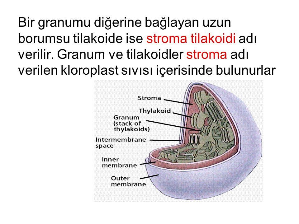 Bir granumu diğerine bağlayan uzun borumsu tilakoide ise stroma tilakoidi adı verilir. Granum ve tilakoidler stroma adı verilen kloroplast sıvısı içer