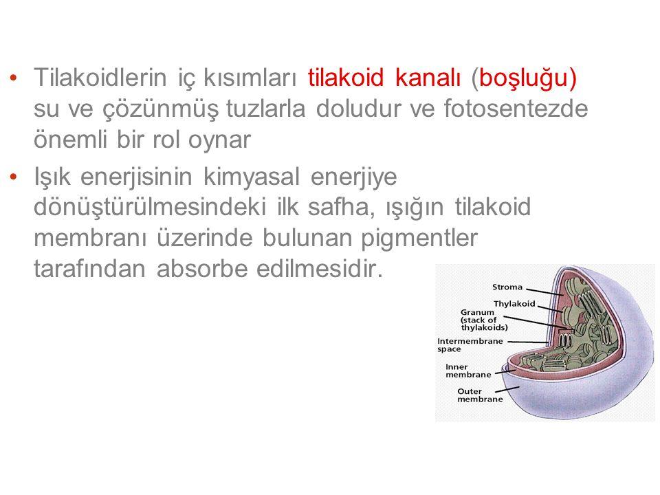 Tilakoidlerin iç kısımları tilakoid kanalı (boşluğu) su ve çözünmüş tuzlarla doludur ve fotosentezde önemli bir rol oynar Işık enerjisinin kimyasal enerjiye dönüştürülmesindeki ilk safha, ışığın tilakoid membranı üzerinde bulunan pigmentler tarafından absorbe edilmesidir.
