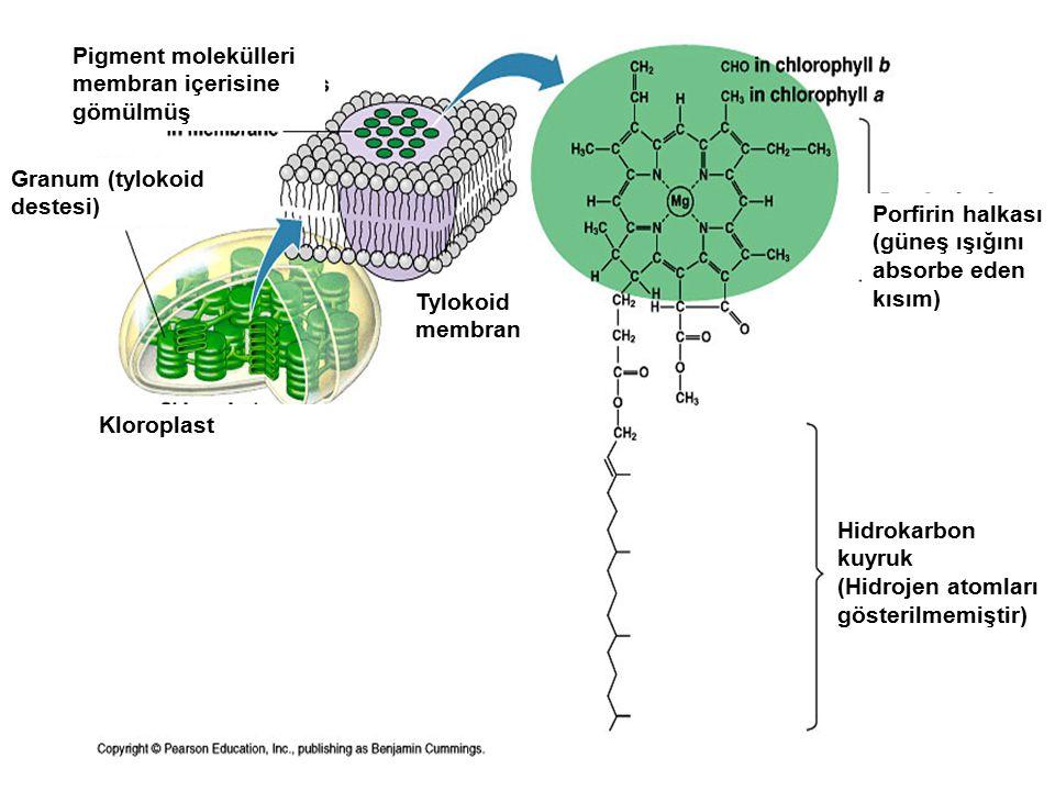 Hidrokarbon kuyruk (Hidrojen atomları gösterilmemiştir) Pigment molekülleri membran içerisine gömülmüş Porfirin halkası (güneş ışığını absorbe eden kısım) Granum (tylokoid destesi) Kloroplast Tylokoid membran