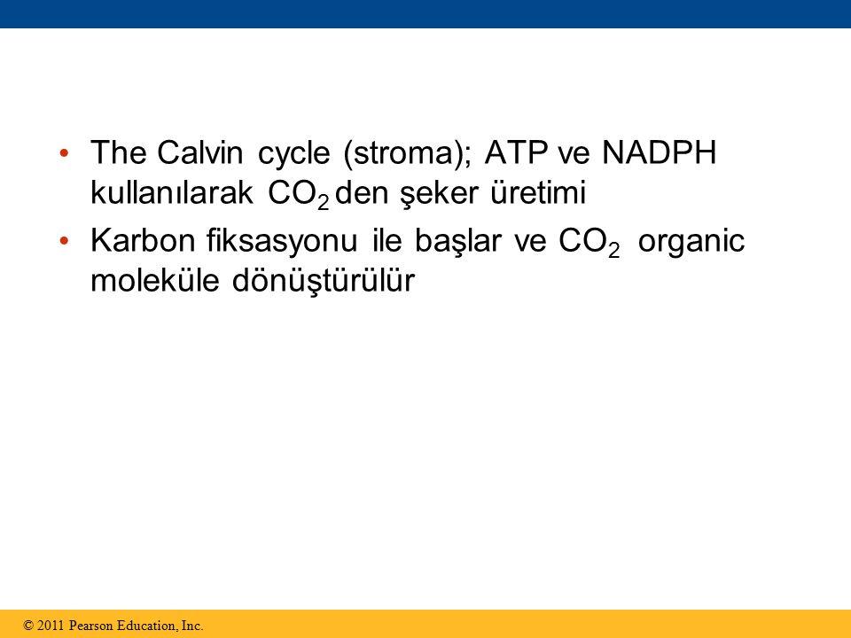 The Calvin cycle (stroma); ATP ve NADPH kullanılarak CO 2 den şeker üretimi Karbon fiksasyonu ile başlar ve CO 2 organic moleküle dönüştürülür © 2011 Pearson Education, Inc.
