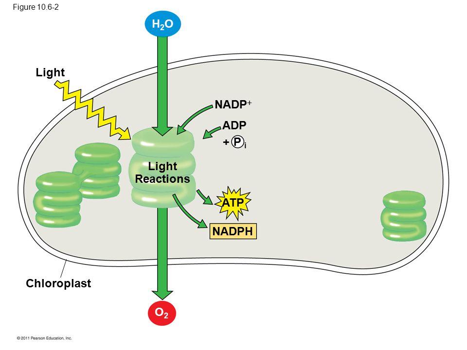 Light Light Reactions Chloroplast ATP NADPH NADP  ADP + P i H2OH2O O2O2 Figure 10.6-2