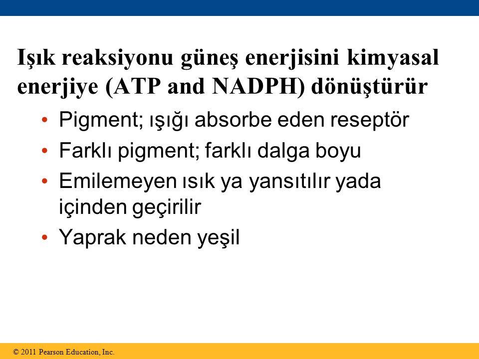 Işık reaksiyonu güneş enerjisini kimyasal enerjiye (ATP and NADPH) dönüştürür © 2011 Pearson Education, Inc. Pigment; ışığı absorbe eden reseptör Fark