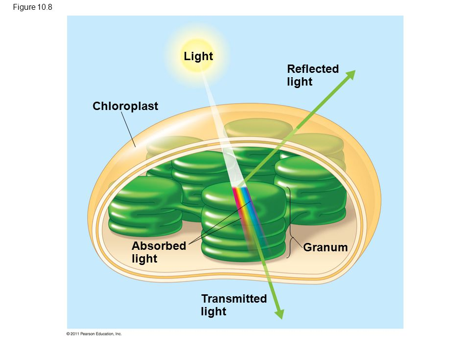 Chloroplast Light Reflected light Absorbed light Transmitted light Granum Figure 10.8
