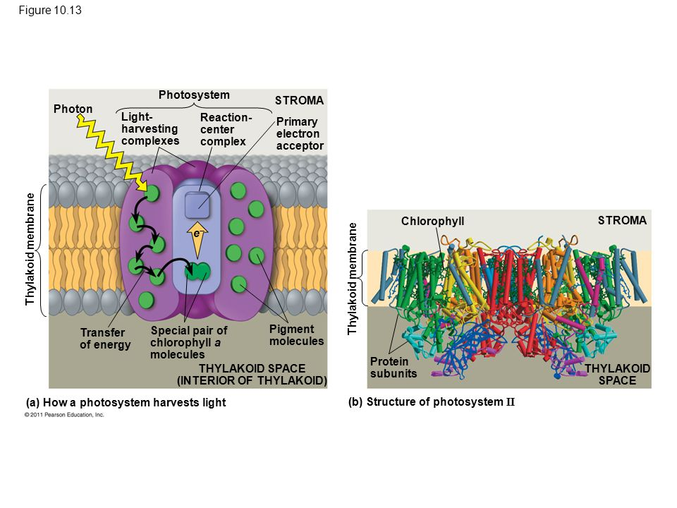 Figure 10.13 (b) Structure of photosystem II (a) How a photosystem harvests light Thylakoid membrane Photon Photosystem STROMA Light- harvesting compl