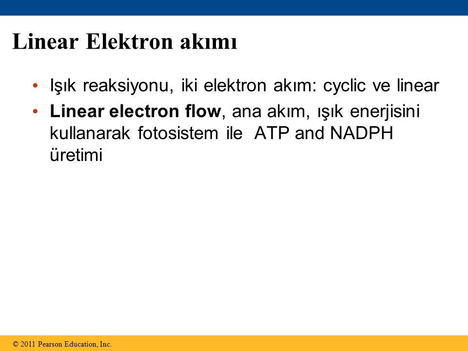 Linear Elektron akımı Işık reaksiyonu, iki elektron akım: cyclic ve linear Linear electron flow, ana akım, ışık enerjisini kullanarak fotosistem ile ATP and NADPH üretimi © 2011 Pearson Education, Inc.