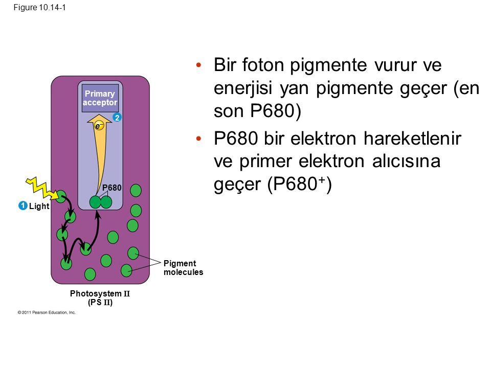 Figure 10.14-1 Primary acceptor P680 Light Pigment molecules Photosystem II (PS II ) 1 2 ee Bir foton pigmente vurur ve enerjisi yan pigmente geçer (en son P680) P680 bir elektron hareketlenir ve primer elektron alıcısına geçer (P680 + )