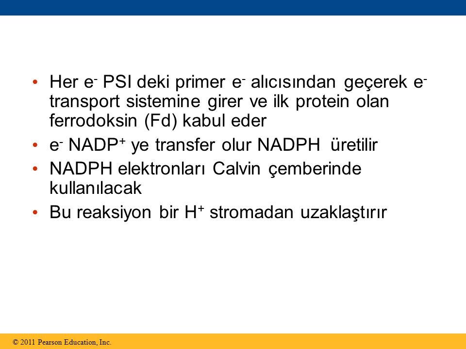 Her e - PSI deki primer e - alıcısından geçerek e - transport sistemine girer ve ilk protein olan ferrodoksin (Fd) kabul eder e - NADP + ye transfer olur NADPH üretilir NADPH elektronları Calvin çemberinde kullanılacak Bu reaksiyon bir H + stromadan uzaklaştırır © 2011 Pearson Education, Inc.