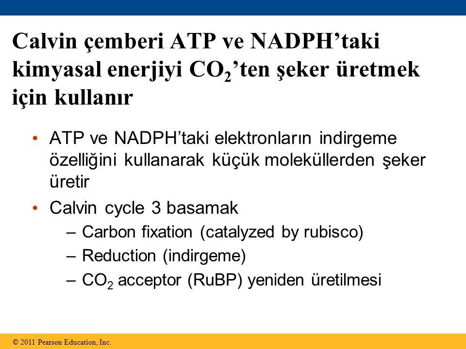 Calvin çemberi ATP ve NADPH'taki kimyasal enerjiyi CO 2 'ten şeker üretmek için kullanır ATP ve NADPH'taki elektronların indirgeme özelliğini kullanarak küçük moleküllerden şeker üretir Calvin cycle 3 basamak –Carbon fixation (catalyzed by rubisco) –Reduction (indirgeme) –CO 2 acceptor (RuBP) yeniden üretilmesi © 2011 Pearson Education, Inc.