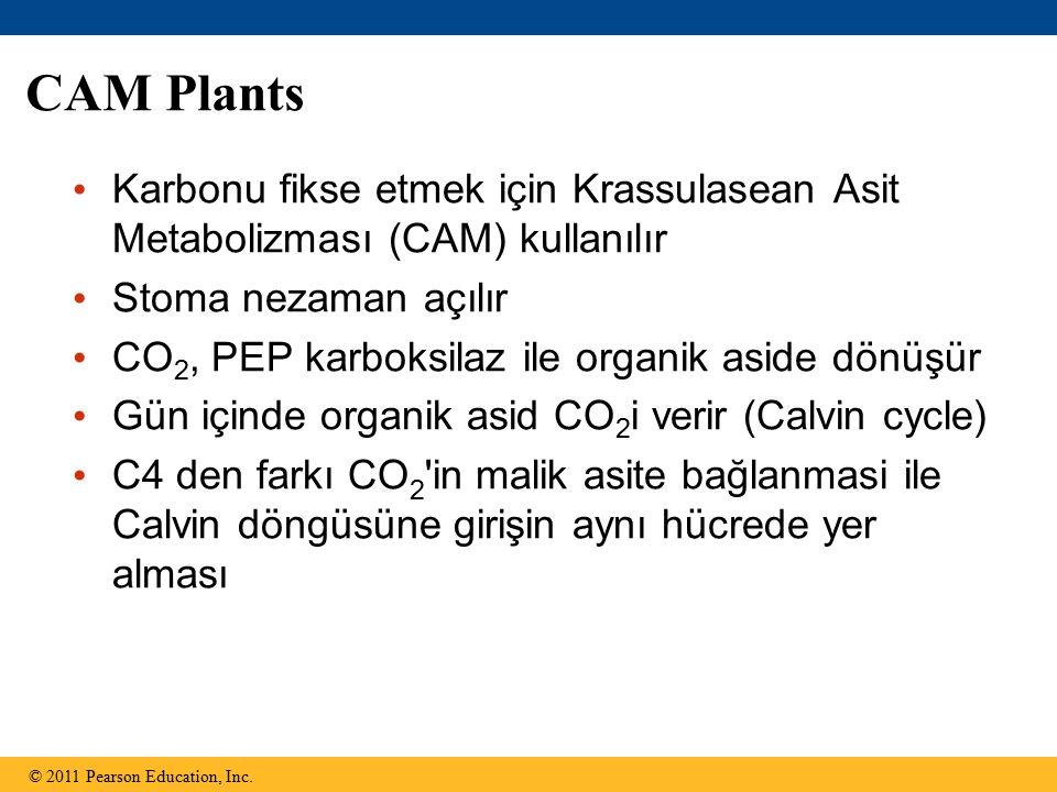 CAM Plants Karbonu fikse etmek için Krassulasean Asit Metabolizması (CAM) kullanılır Stoma nezaman açılır CO 2, PEP karboksilaz ile organik aside dönüşür Gün içinde organik asid CO 2 i verir (Calvin cycle) C4 den farkı CO 2 in malik asite bağlanmasi ile Calvin döngüsüne girişin aynı hücrede yer alması © 2011 Pearson Education, Inc.