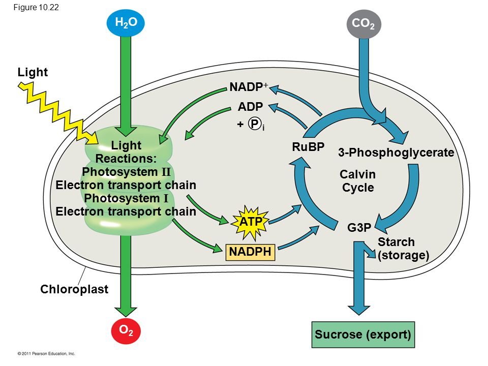 Light Light Reactions: Photosystem II Electron transport chain Photosystem I Electron transport chain NADP  ADP + P i RuBP ATP NADPH 3-Phosphoglycerate Calvin Cycle G3P Starch (storage) Sucrose (export) Chloroplast H2OH2O CO 2 O2O2 Figure 10.22