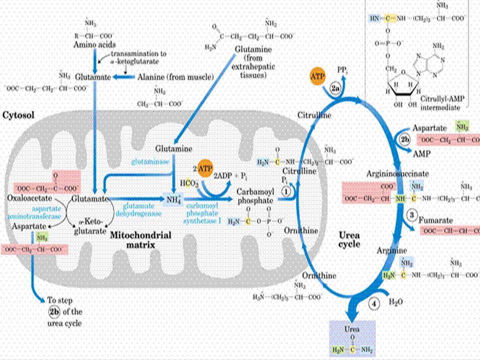 KOLESTEROL Kolesterol, tüm vücutta sentezlenmekte olup hücre membranları ve lipoproteinlerin temel bir bileşenedir ve ayrıca steroid hormonları ile safra asitlerinin sentezi açısından bir prekürsör işlevi görmektedir.