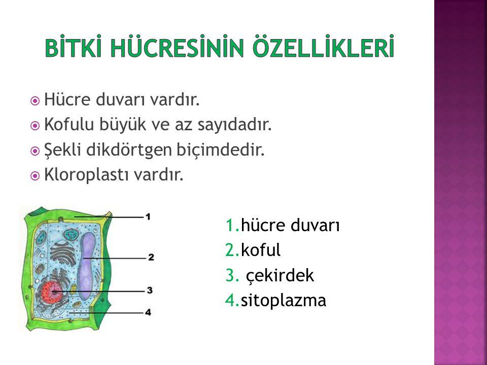  Bitkilerde bulunan hücredir.Bu hücrelerde hücre duvarı bulunduğundan hayvan hücresinden ayrılır.