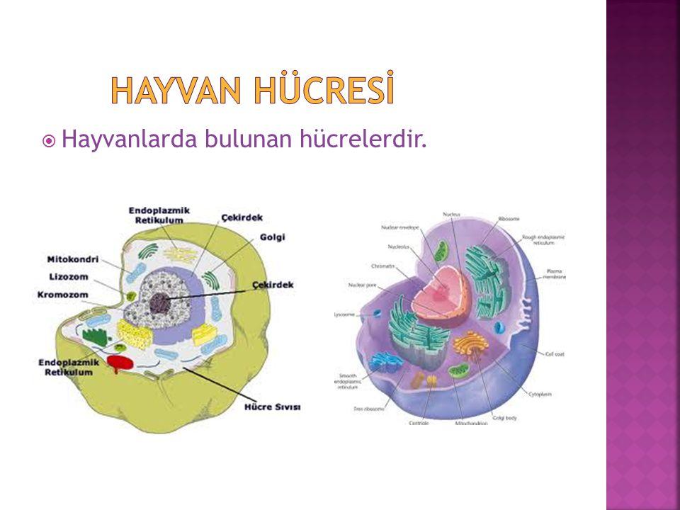  Hücre duvarı vardır.  Kofulu büyük ve az sayıdadır.  Şekli dikdörtgen biçimdedir.  Kloroplastı vardır.  1.hücre duvarı  2.koful  3. çekirdek 