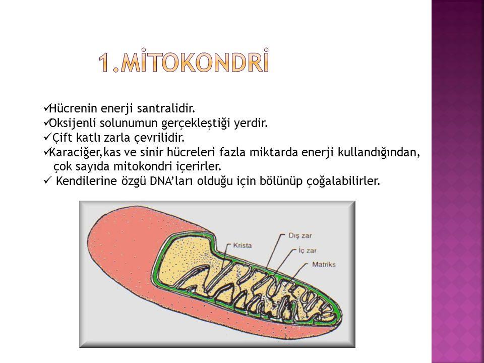 Bitki Hücresi: + Hücre çeperi bulunur. + Kofullar çok ve büyüktür. + Sentrozom bulunmaz. Hayvan Hücresi: + Hücre çeperi bulunmaz. + Kofullar az ve küç