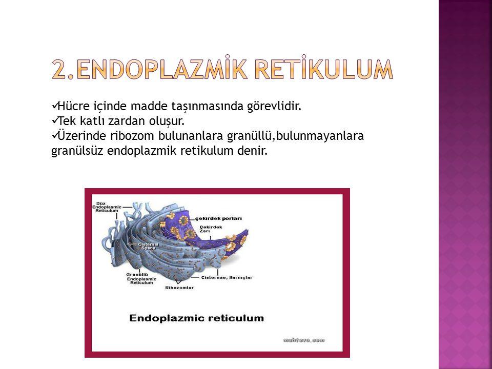 Hücrenin enerji santralidir. Oksijenli solunumun gerçekleştiği yerdir. Çift katlı zarla çevrilidir. Karaciğer,kas ve sinir hücreleri fazla miktarda en