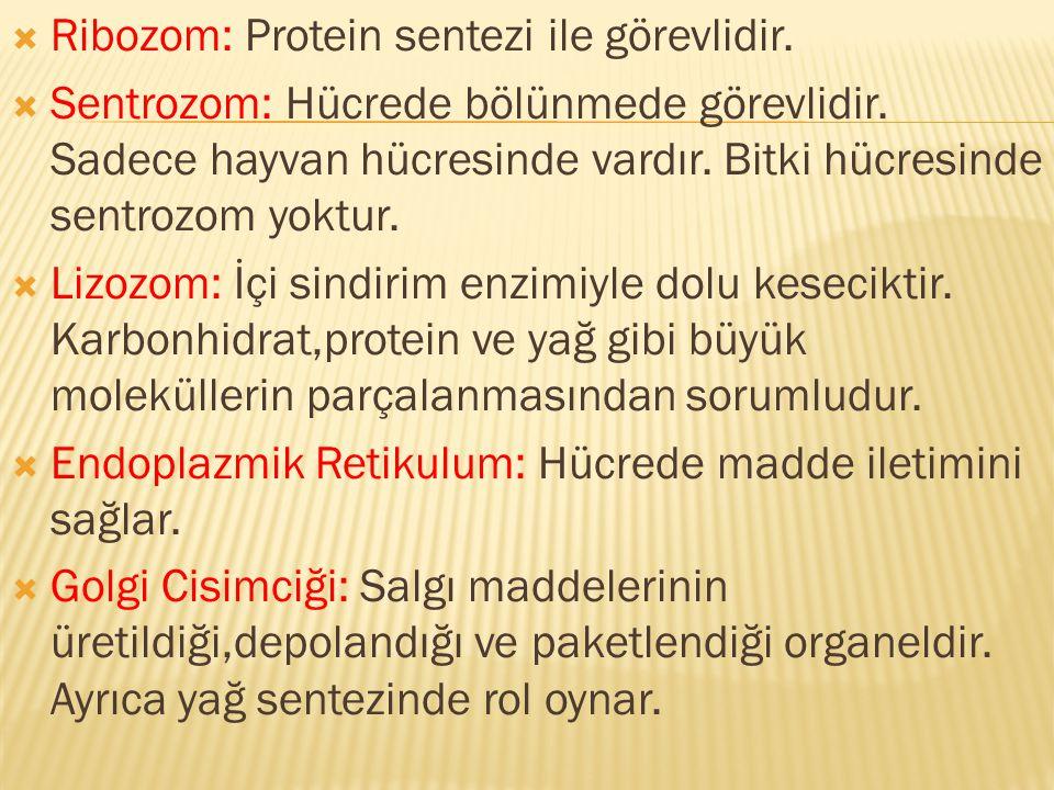  Ribozom: Protein sentezi ile görevlidir.  Sentrozom: Hücrede bölünmede görevlidir. Sadece hayvan hücresinde vardır. Bitki hücresinde sentrozom yokt