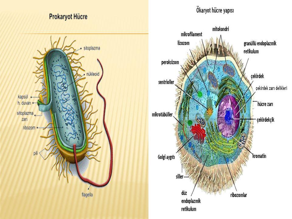  Hücre zarı,sitoplazma ve çekirdektir.
