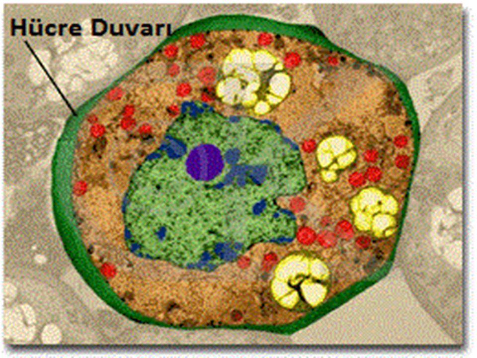  Hücre zarı ile çekirdek arasını dolduran,renksiz,yarı saydam,yumurta akı kıvamında (kolloid) bir sıvıdır.