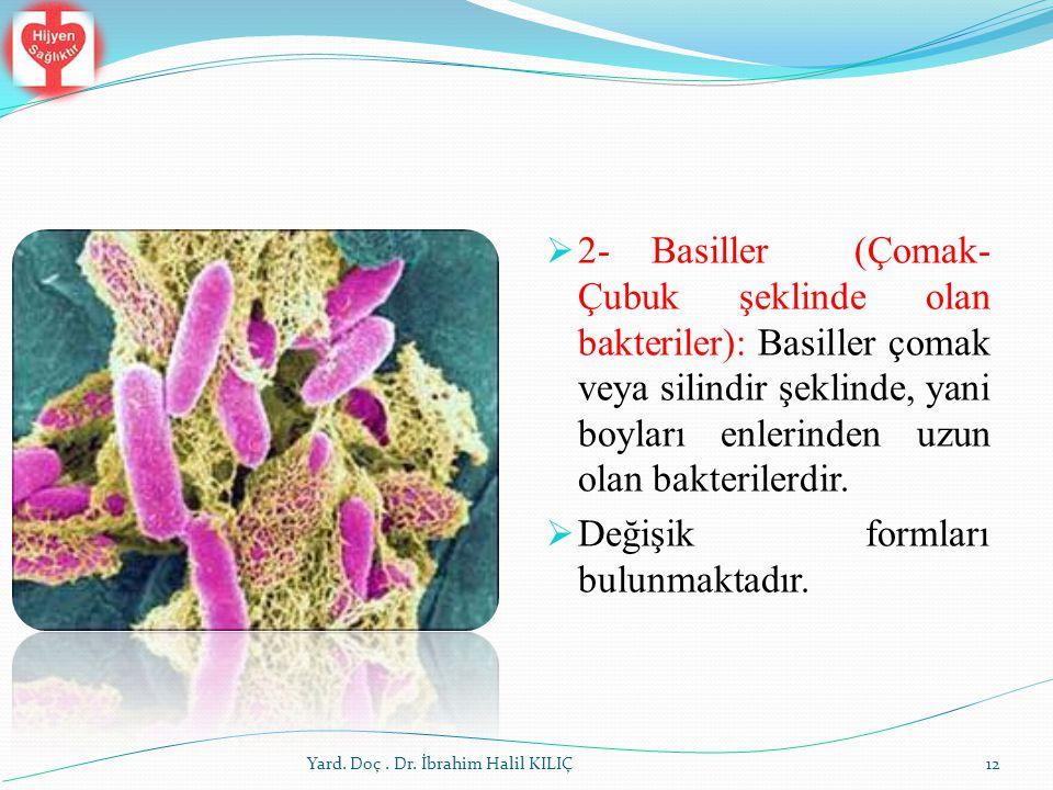 2-Basiller (Çomak- Çubuk şeklinde olan bakteriler): Basiller çomak veya silindir şeklinde, yani boyları enlerinden uzun olan bakterilerdir.  Değişi