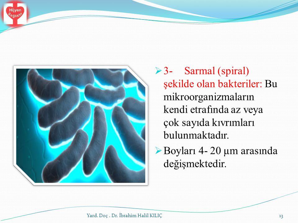  3-Sarmal (spiral) şekilde olan bakteriler: Bu mikroorganizmaların kendi etrafında az veya çok sayıda kıvrımları bulunmaktadır.  Boyları 4- 20 µm ar