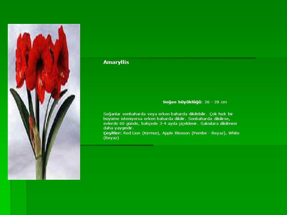 Amaryllis Soğan büyüklüğü: 26 - 28 cm Soğanlar sonbaharda veya erken baharda dikilebilir. Çok hızlı bir büyüme isteniyorsa erken baharda dikilir. Sonb