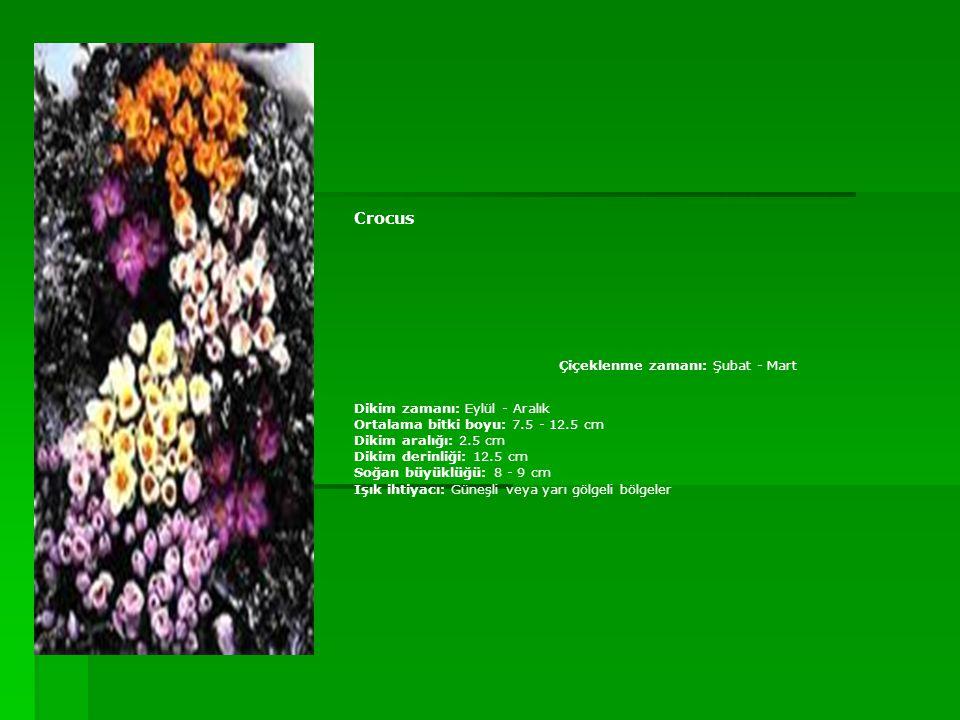 Crocus Çiçeklenme zamanı: Şubat - Mart Dikim zamanı: Eylül - Aralık Ortalama bitki boyu: 7.5 - 12.5 cm Dikim aralığı: 2.5 cm Dikim derinliği: 12.5 cm