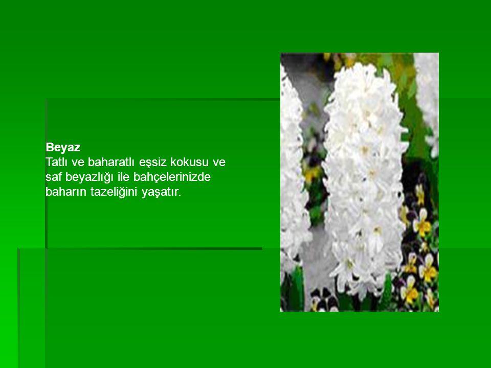 Beyaz Tatlı ve baharatlı eşsiz kokusu ve saf beyazlığı ile bahçelerinizde baharın tazeliğini yaşatır.